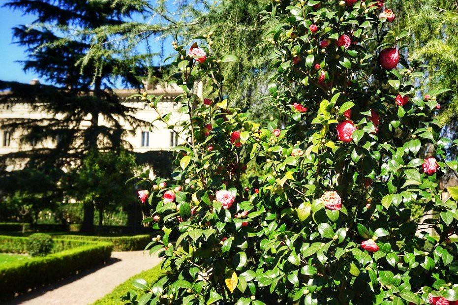 Magnolian kukintaa