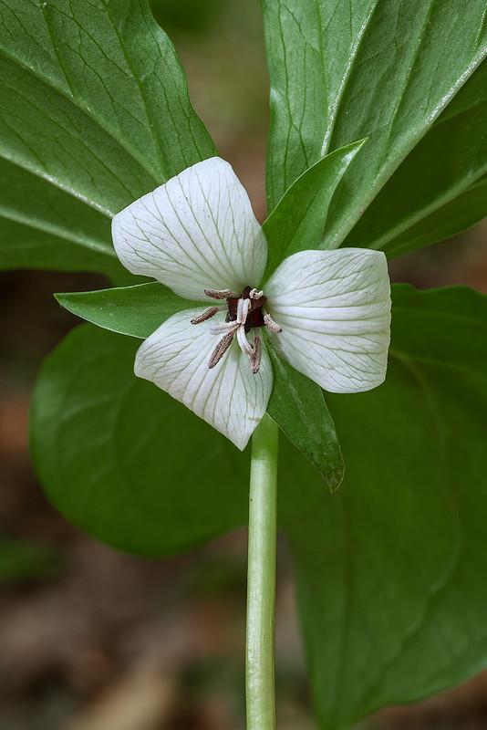Trillium hybrids