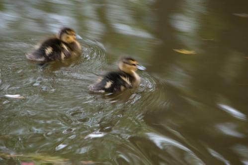 Ducklings: Newbridge, Aldersley