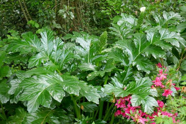 Au jardin, acanthes à feuilles molles (Acanthus Mollis), Bosdarros, Béarn, Pyrénées Atlantiques, Nouvelle-Aquitaine, France.
