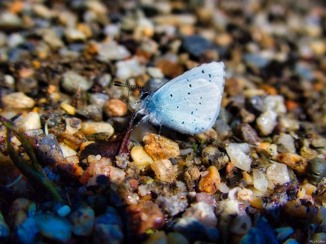 Azul común
