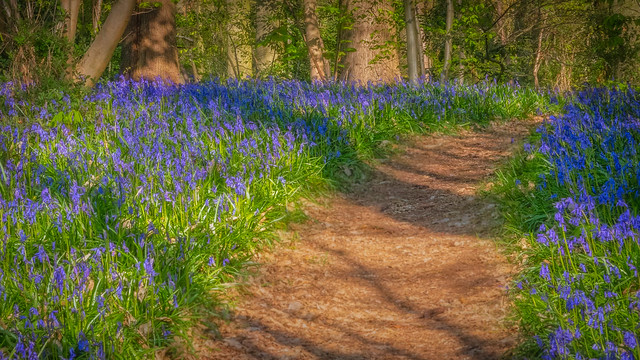 A path through the bluebell wood