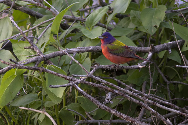 Painted Bunting Perching