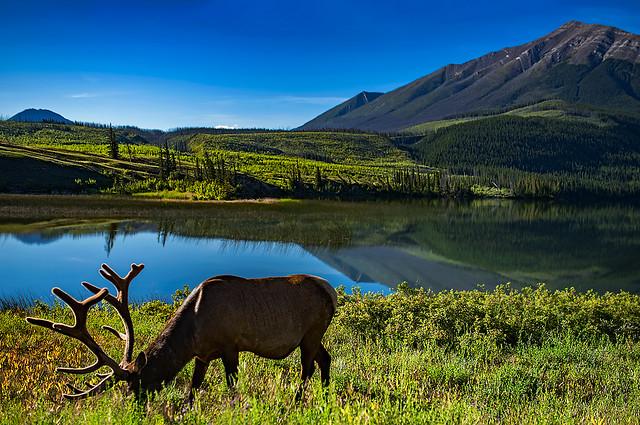 Elk at Jasper