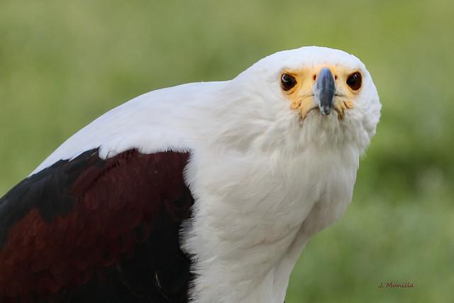 Aguila calva MG_6258