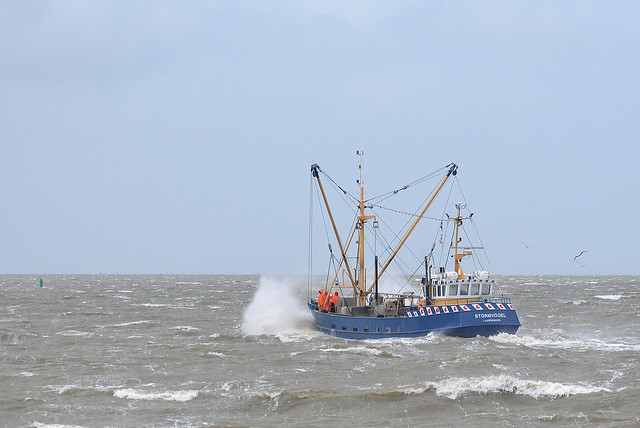 Stormvogel op de Waddenzee.
