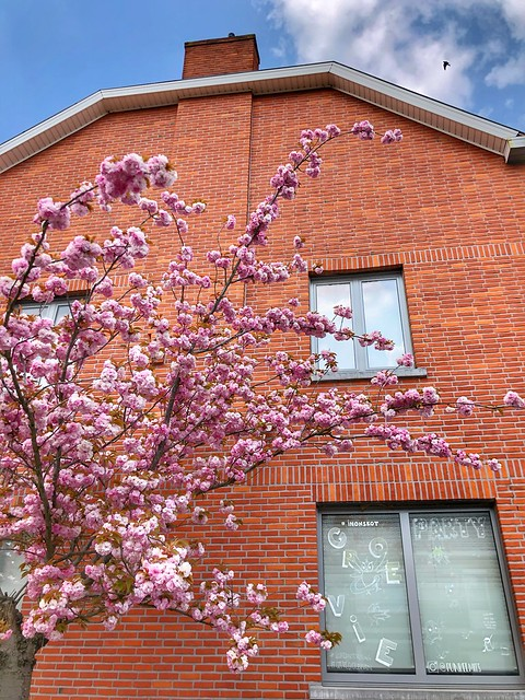 pink cherryblossoms @ Oude Baan in Leuven