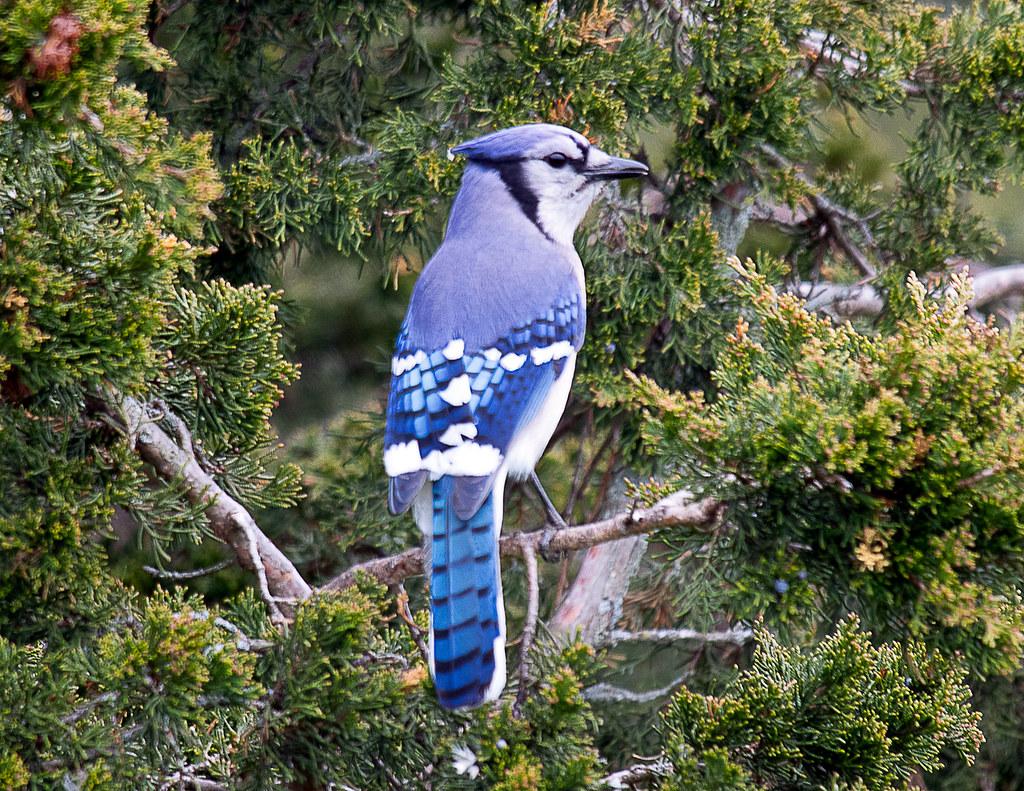 Proud Blue Jay