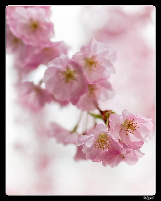 210411 Sakura 810 (color edit) - Flickr