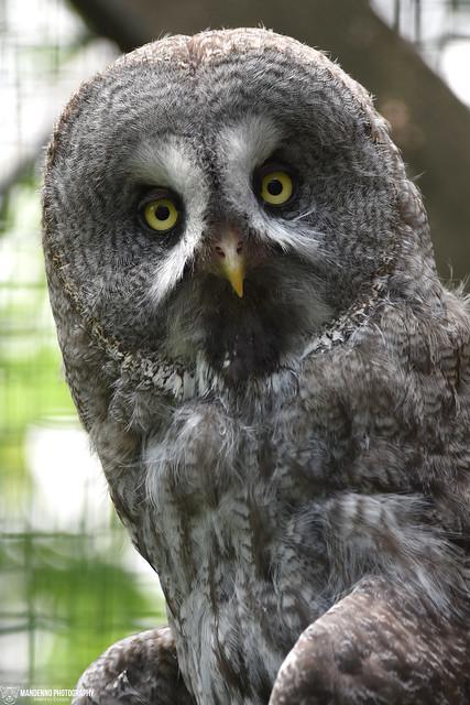 Great grey owl - Zoo Hluboka