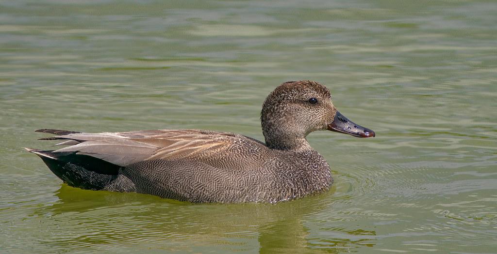Gadwall (male)