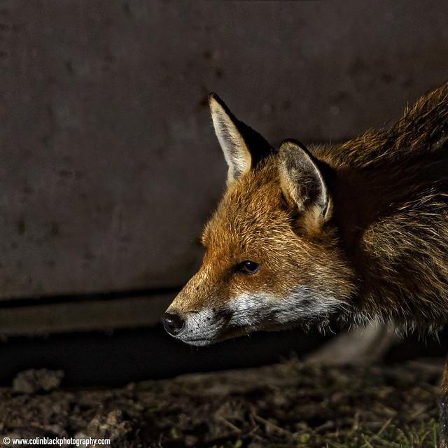 wet fox
