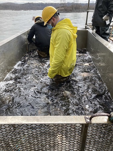 Photo of workers in fish tank, sorting invasives