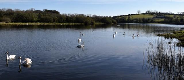 a flotilla of mute swans