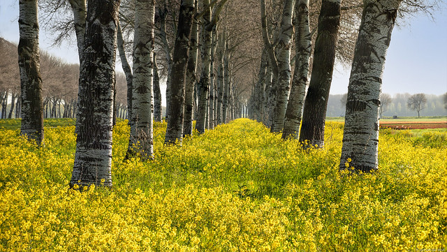 Rapeseed in bloom under the birch trees