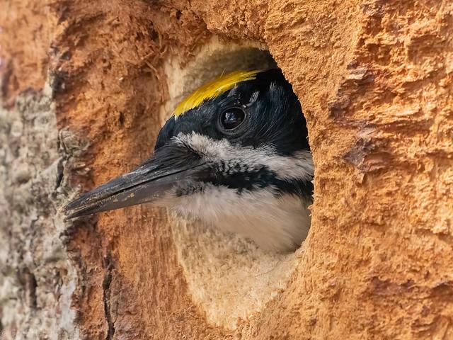 Black-backed Woodpecker, male