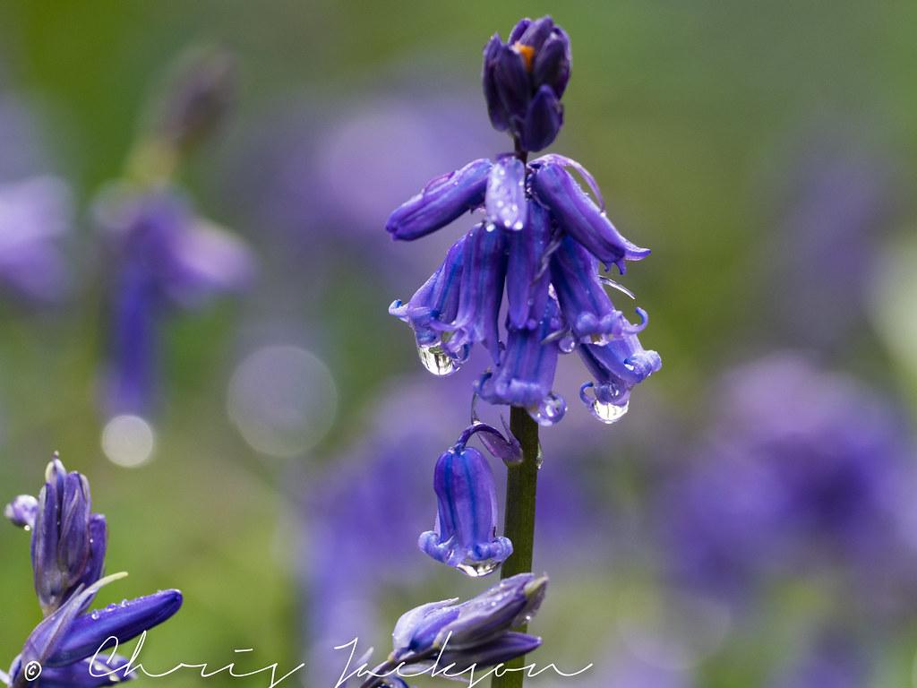 Wld Bluebell