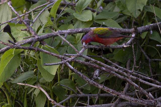 Painted Bunting Cleaning Its Beak