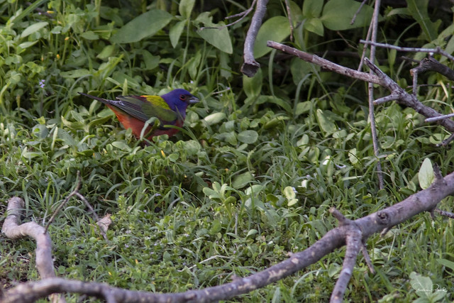 Painted Bunting Hunting Seeds
