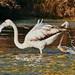 Phoenicopterus roseus - Flamenco común.