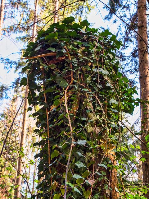 Overgrown Tree Stump