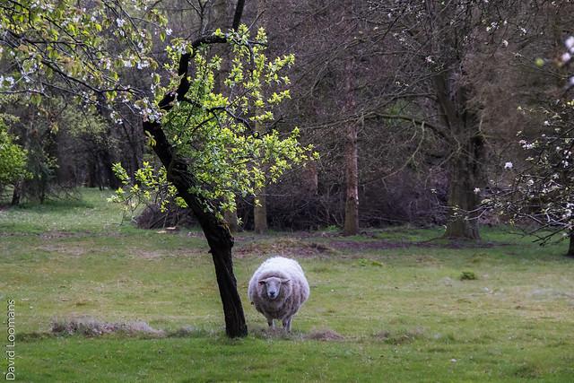 SheepTree