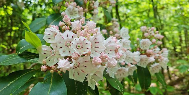 Mountain laurels - are a'bloom in Georgia woods  (Kalmia latifolia)