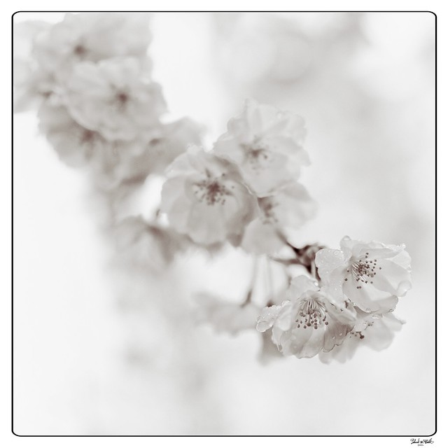 210411 Sakura 810 (mono edit) - Flickr