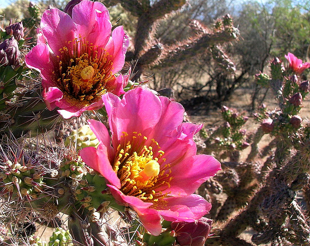 Short-lived blossoms of local wild Cholla Cactus.