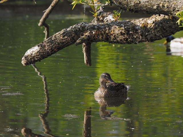 Ente im Versteck - Duck in hiding