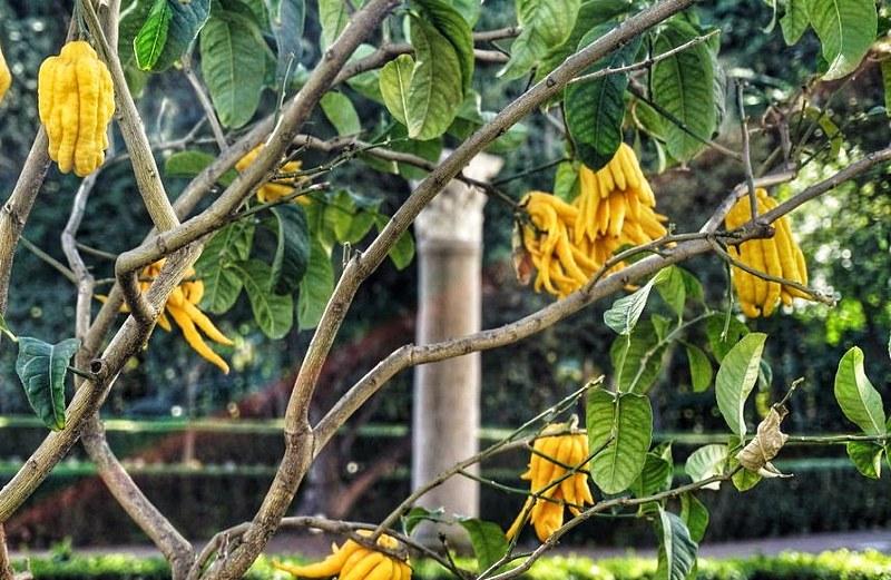 Puutarhan eksoottinen hedelmä