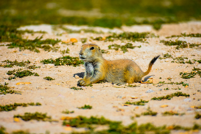 Lounging Gopher
