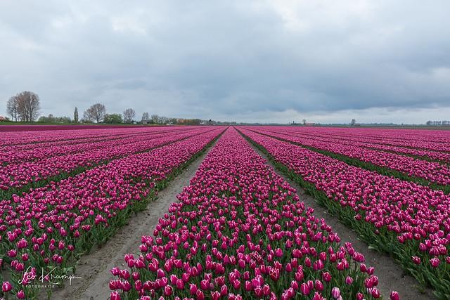 Tulip bulb fields