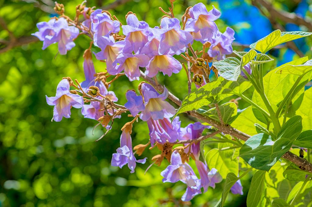 Princess Tree blooming