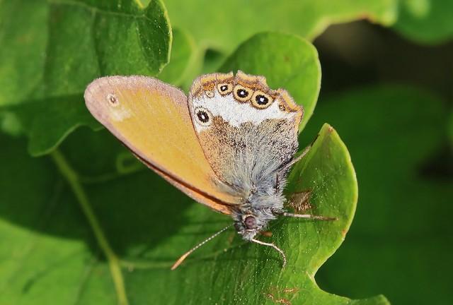 butterfly - Perlgrasfalter (Coenonympha arcania)