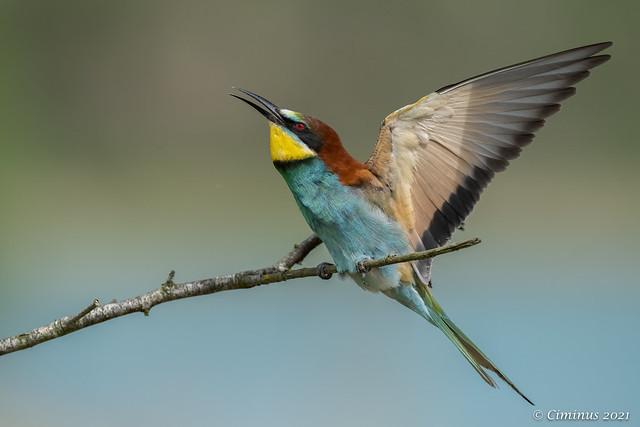 Merops apiaster (European bee-eater).