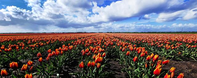 Tulpen maar niet uit Amsterdam... [Explored]