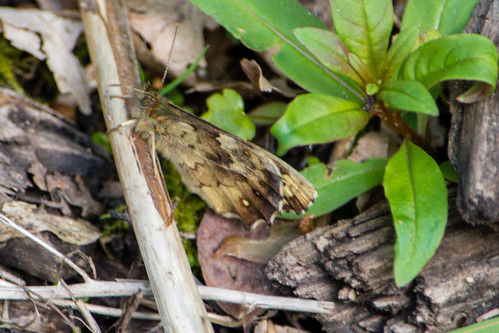 Speckled wood butterfly, well camouflaged