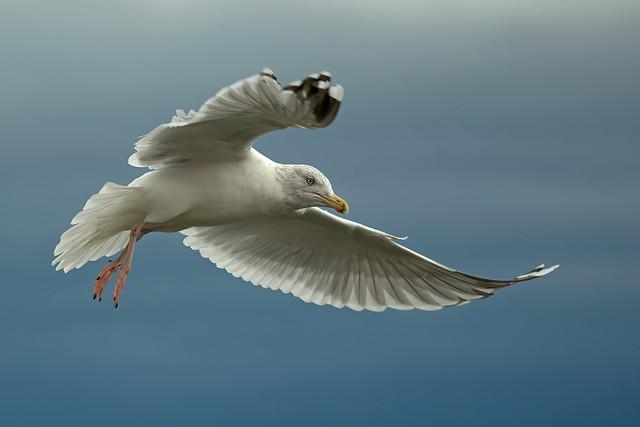 European Herring Gull, Burntisland, Fife