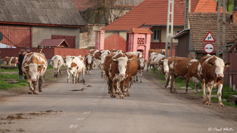 Cows returning home from the pasture for evening milking