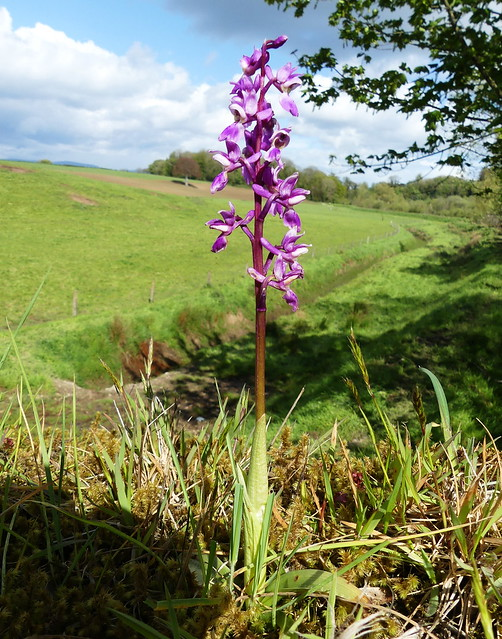 Early-purple Orchid