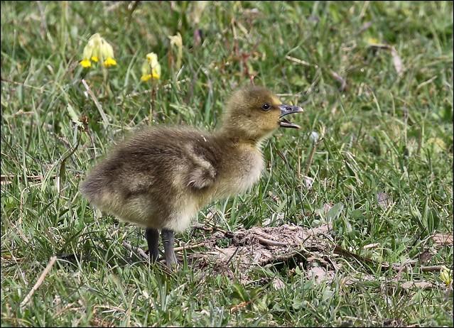 Greylag Goose Chick