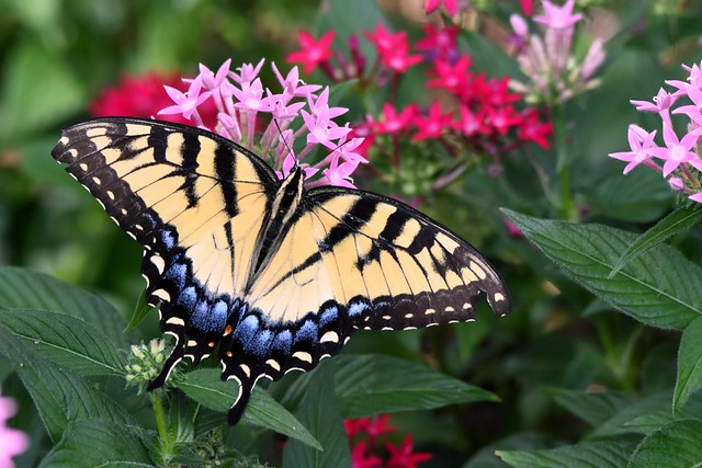 Tiger Swallowtail Butterfly DSC_5730