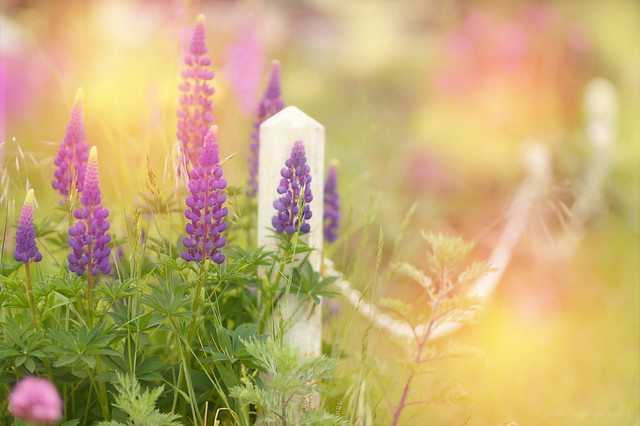 Lupin Fence...