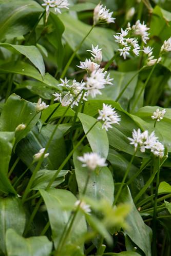 Ground cover: wild garlic, Aldersley