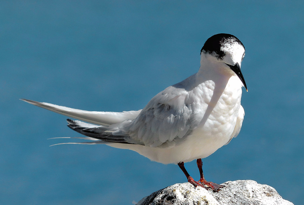 White fronted tern. NZ.