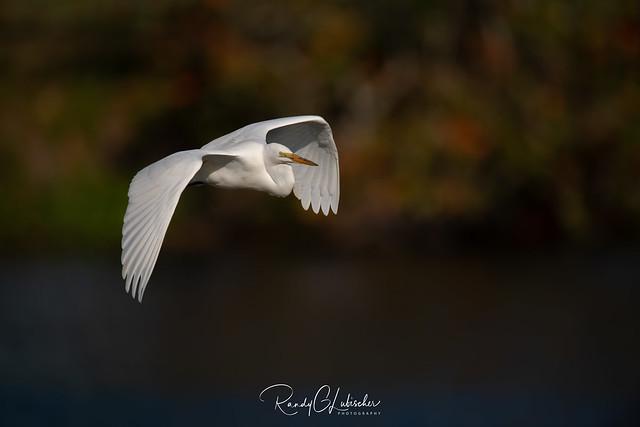 Great Egret | Ardea alba | 2021 - 3