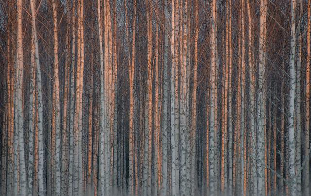 A birch forest