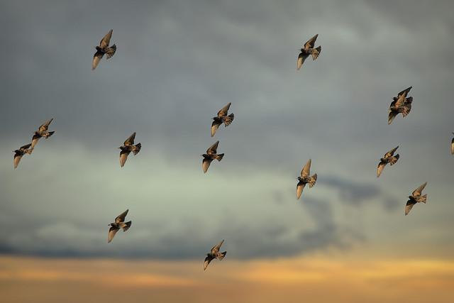 flight of starlings...