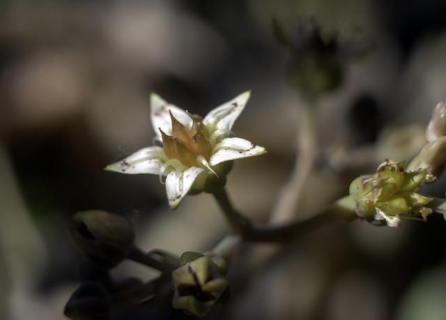 Graptopétalum en fleur